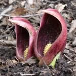 座禅草とはどんな花?開花時期や特徴、群生地は?
