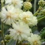 モリシマアカシアの花言葉と育て方!苗植え時期や剪定方法は?