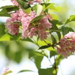 たにうつぎは縁起の悪い花?その理由や種類、育て方は?