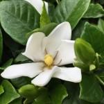 クチナシの花言葉の由来は香りから来てる!?