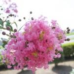 サルスベリの花言葉の意味!名前の由来や別名は?