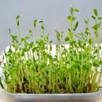 豆苗の育て方!水耕栽培や土で育てる時のコツとは?