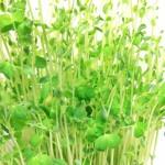 豆苗の栄養や効果的な食べ方!食べ過ぎによる害はないの?