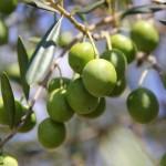 オリーブの育て方!室内向きの品種や葉が落ちる・黄色くなる原因は?