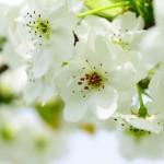 梨の花言葉や名前の由来!花はどんな匂い?