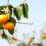 柿の育て方や手入れ方法!種まき時期や剪定、気をつける病気は?
