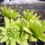 ふきのとうの栽培は種から?苗から?植え付け時期や必要なものは?