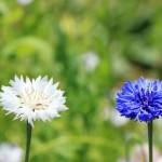 矢車草の名前の由来や開花時期、花言葉は?似た花の種類は?