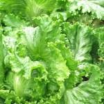 レタスが変色する原因と7つの防止方法!食べられるの?
