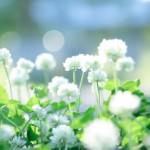 シロツメクサの花言葉!葉のクローバーは枚数で意味も違う?