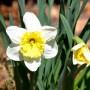 水仙の育て方!植え替えの時期や肥料、花が咲かない原因は?