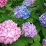 あじさいの種類数は?人気品種の名前や特徴、開花時期はいつごろ?