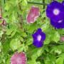 朝顔の種まき時期はいつ?種はプランターで何粒?植える向きもある!?
